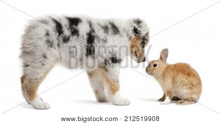 Blue Merle Australian Shepherd puppy face to face with rabbit, sitting in front of white background