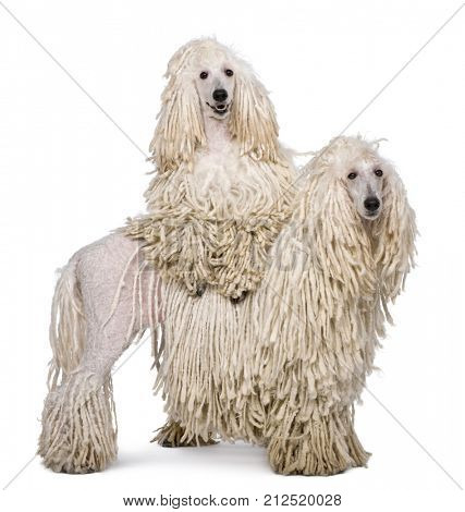 Two White Corded standard Poodles in front of white background
