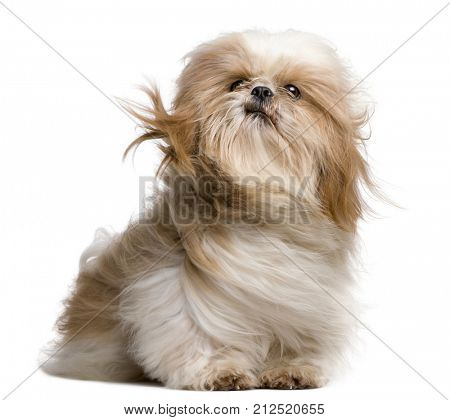 Shih-Tzu with windblown hair, sitting in front of white background