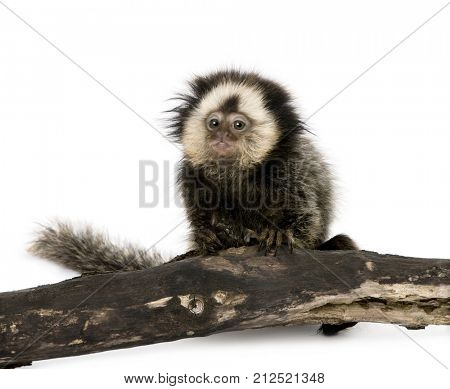 Young White-headed Marmoset on piece of wood, Callithrix geoffroyi, 5 months old, in front of white background, studio shot