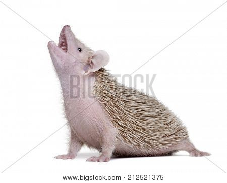 Side view of Lesser Hedgehog Tenrec with mouth open, Echinops telfairi, in front of white background