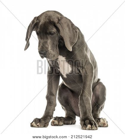 Great Dane dog sitting, looking down, isolated on white