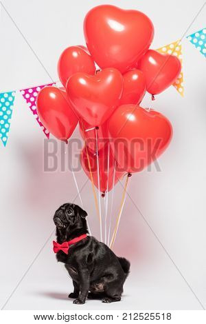 Black pug dog in a red bow sitting in front of a bunch of red heart-shaped baloons and dotted garlands.
