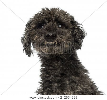 Close-up of an agressive Poodle showing teeth, isolated on white