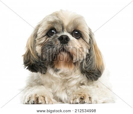 Front view of a Shih Tzu lying down, isolated on white