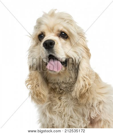 Close-up of an American Cocker Spaniel puppy panting, 6 months old, isolated on white