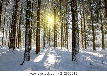 Sun light in the winter forest with white fresh snow and pine trees. Sunset in the wood between the trees strains in winter .