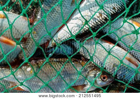 caught in the net of fish plenty of fish is in the net freshwater fish