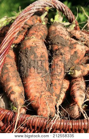 Organic carrot from rural permaculture in a wicker basket. Home country garden.
