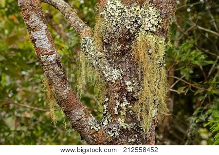 Old man's beard Fruticose lichen (Usnea) and leaf-like Foliose lichen growing on tree at Mt. Kinabalu national park, Sabah Malaysia, Asia
