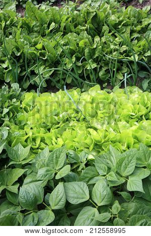 Young onion, lettuce, rucola, beans and beets, in vegetable permaculture cultivation. Eco-friendly backyard garden, vegetable garden.
