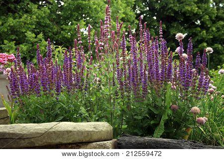 Sage on a perennial discount in a rural garden. Herb garden in rustic style