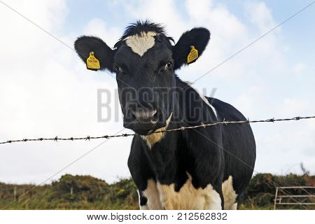 Black and white Friesian cow looking over a barbed wire fence Wales UK
