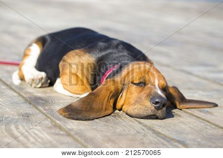Little sweet puppy of Basset hound with long ears lying on a wooden floor and resting - sleeping