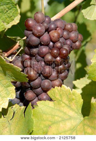 Pinot Gris/Griogio Grapes