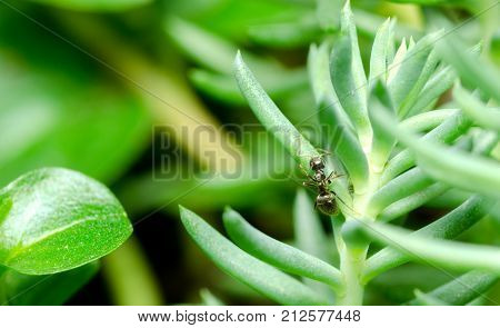 Black ant on the green plant  in the garden close up selective focus
