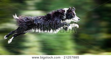 Wet border collie dog in midair after jumping off dock into water, with panning motion blur.