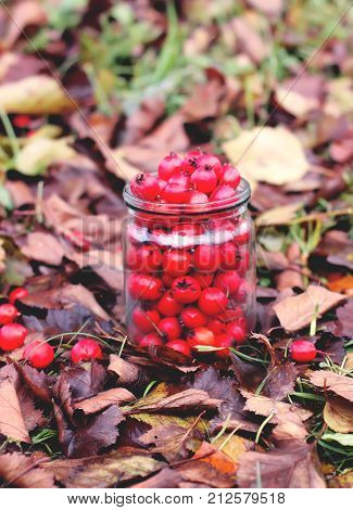 Ripe red berries of Crataegus laevigata plant. Midland hawthorn mayflower fruits in glass jar on fall leaves background in the autumn park. poster