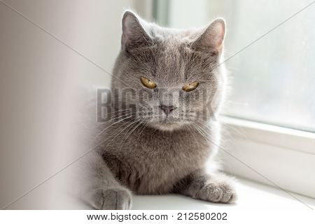British cat lying on the windowsill blue British cat looking at the camera poster