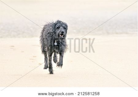 A running hairy wet lonely big black dog with sad eyes seen from the front before a bright background leaving vague footprints behind