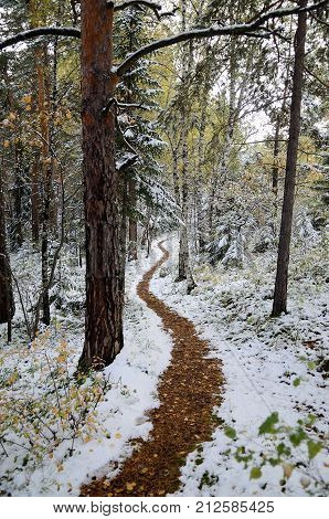 A path in the Altai forest after the first snowfall Belokurikha Altai Russia