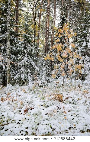 Altai forest after the first snowfall Belokurikha Altai Russia
