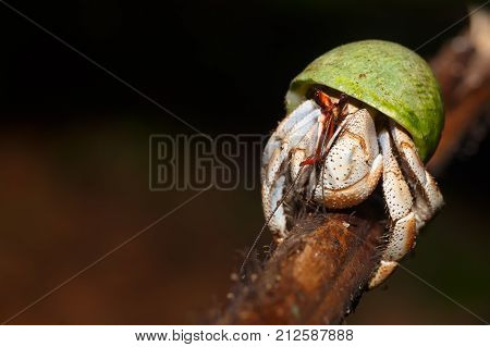 Hermit Crab With Green Snail Shell Madagascar