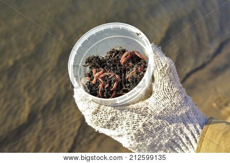Hand in the glove holds a container with earthworms. They are used for fishing as a bait