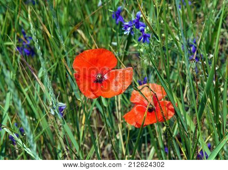 Wild flower meadow with Poppies (Papaver rhoeas) and (Forking larkspur) Consolida regalis