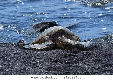 Turtles On A Black Sand Beach In Hawaii. Big Island, USA, EEUU.
