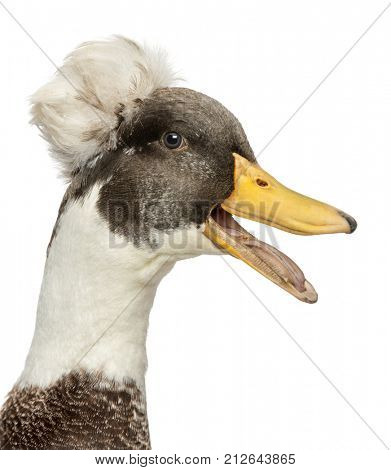 Close-up of a Male Crested Duck, lophonetta specularioides, quacking, isolated on white