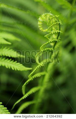 Fern plant growing macro