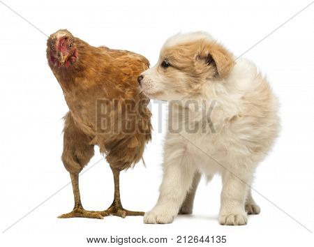 Border Collie puppy, 6 weeks old, looking at the worried hen standing next to him in front of white background