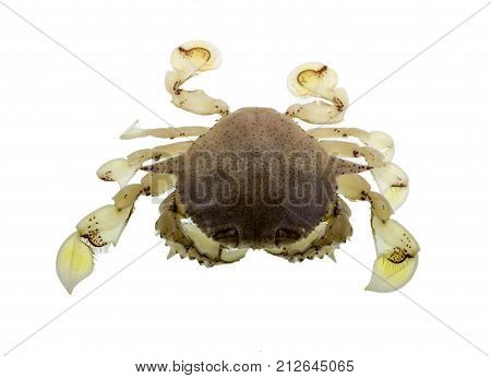 The common moon crab Matuta victor is a small benthic tropical crab with a rounded carapace two long lateral spines yellowish color numerous fine black spots and legs and bright yellow chelae