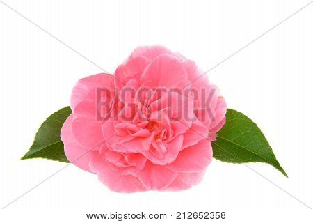 One Marie Bracey Camellia bloom isolated on white background. Bright pink flowers emerge from the Marie Bracey Camellia. With large 4-5 inch blooms