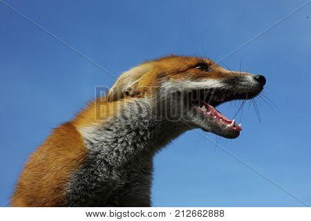 Cute Fox Or Dog Pet.