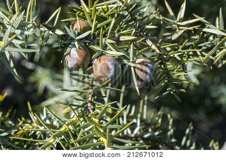 Fruits and leaves of Prickly juniper, Juniperus oxycedrus. Photo taken in Guadarrama Mountains, Madrid, Spain