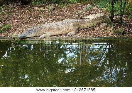 Saltwater crocodile in the crocodile farm at Sarawak Malaysia