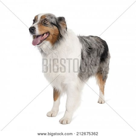 Portrait of Australian Shepherd dog standing in front of white background, studio shot