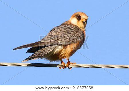 Common kestrels measure 32-39 cm (13-15 in) from head to tail, with a wingspan of 65-82 cm (26-32 in).  Like the other Falco species, they have long wings as well as a distinctive long tail.