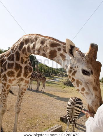 Giraffe Arched Neck