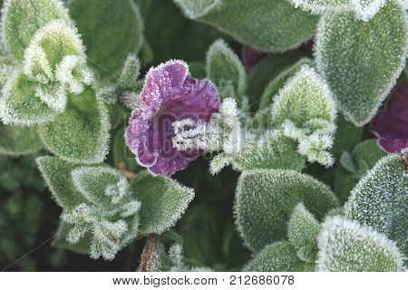 Blossom petunia hybrida covered with first hoar frost