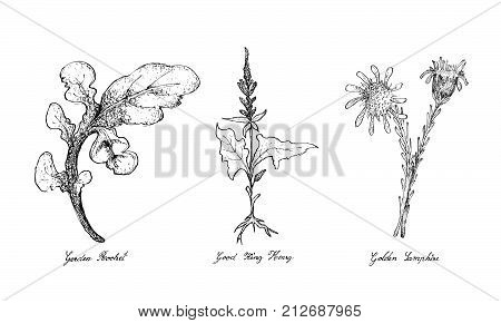 Hand Drawn Sketch Delicious Fresh Green Garden Rocket, Good King Henry and Golden Samphire Plants Isolated on White Background. poster