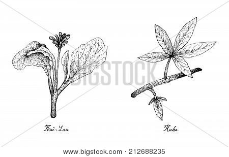 Hand Drawn Sketch Delicious Fresh Green Kai Lan and Kuka Leaves Isolated on White Background.