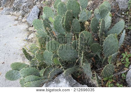 Green cacti with spiny long spines grow on the flowerbed.