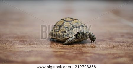 A Turtle Walks On A Wood Floor