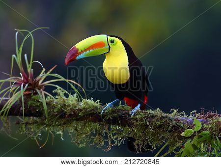 Keel-billed toucan perched on branch in Costa Rica