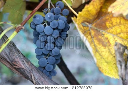 Bunches of ripe grape on a vineyard in a vineyard. Selective focus.