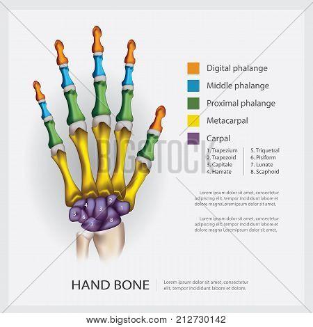 Human Anatomy Hand Bone System Vector Illustration