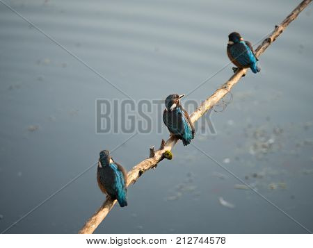 Colorful male Kingfisher birds, also called Alcedo atthis, sit on a branch